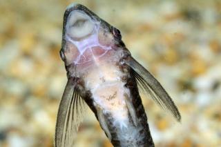 Nannoptopoma sternoptychum