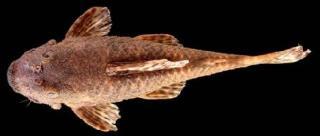 Neblinichthys brevibracchium