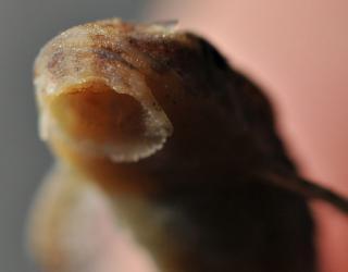 Otothyris lophophanes