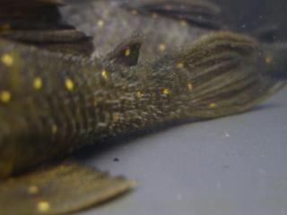 Panaqolus albomaculatus