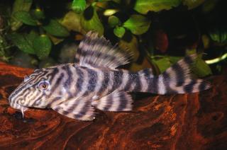 http://www.planetcatfish.com/images/mid(r)/siluriformes/loricariidae/panaqolus/sp(l002)/1.jpg