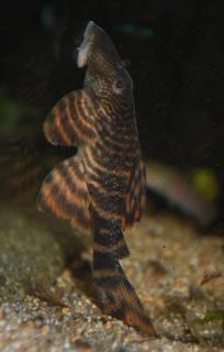 Panaqolus sp. (L271)