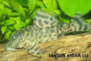 Panaqolus sp. (L272)