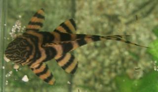 Panaqolus sp. (L374)