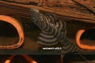 Panaqolus sp. (L403)