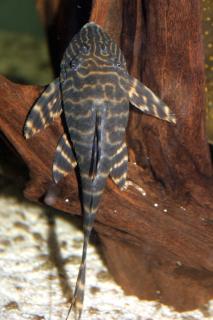 Panaqolus sp. (L425)