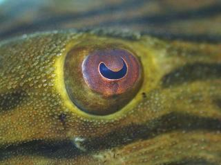 Panaque cf. armbrusteri`araguaia`