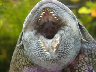 Panaque cf. cochliodon`upper_magdalena`
