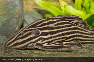 Panaque cf. nigrolineatus`aripuana`