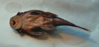 Paralithoxus planquettei