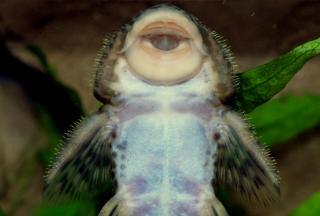 Pareiorhaphis bahiana