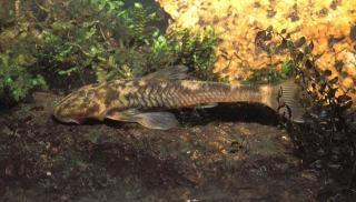 Pareiorhina rudolphi