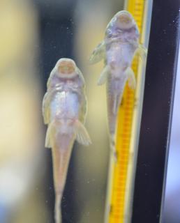 Parotocinclus jumbo