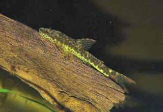Parotocinclus maculicauda