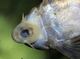 Peckoltia multispinis