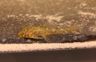 Peckoltia sp. (L288)