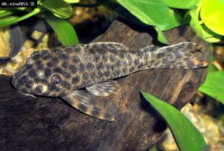 Peckoltichthys bachi
