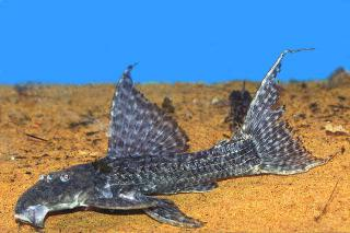 Pseudacanthicus major