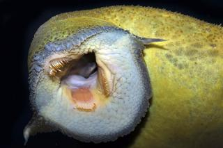 Pseudacanthicus pitanga