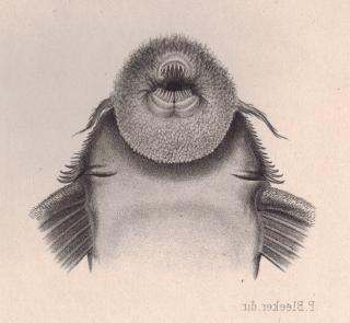 Pseudacanthicus serratus