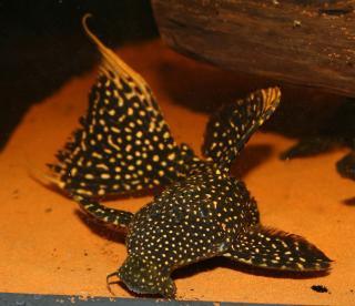 Pseudacanthicus sp. (LDA105)