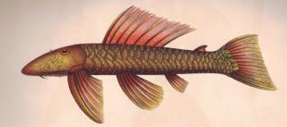 Pseudancistrus barbatus