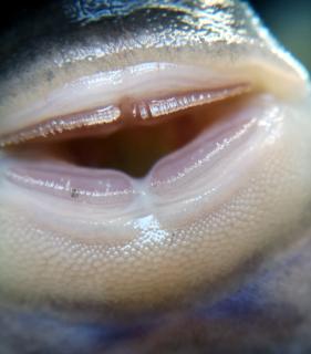Pseudancistrus sidereus