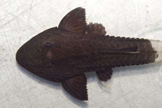 Pseudohemiodon aff. apithanos