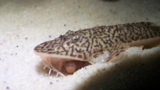 Pseudohemiodon lamina