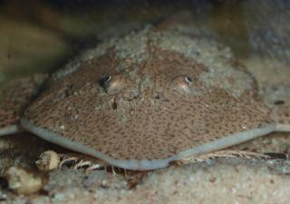 Pseudohemiodon laticeps