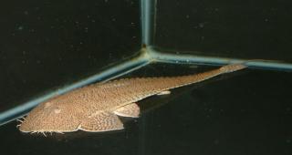 Pseudohemiodon platycephalus