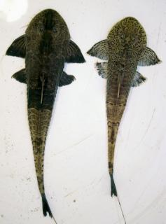 Pseudohemiodon sp. `MARBLED`