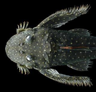 Pseudolithoxus anthrax