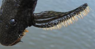 Pseudolithoxus kinja