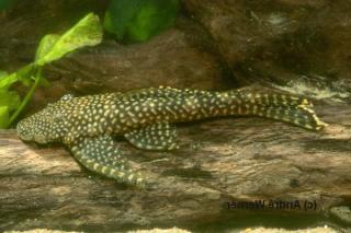 Pseudolithoxus sp. (L328)