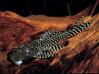 Pseudolithoxus tigris