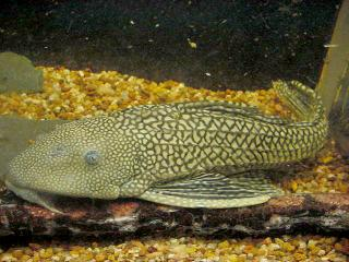 Pterygoplichthys ambrosettii