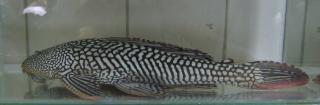 Pterygoplichthys disjunctivus