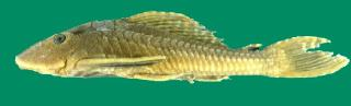 Pterygoplichthys etentaculatus