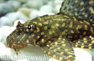Pterygoplichthys joselimaianus