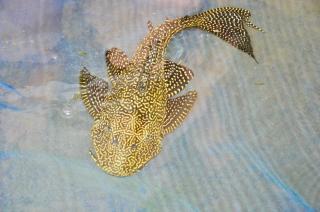 Pterygoplichthys parnaibae