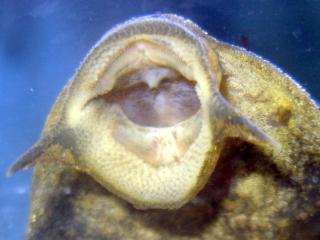 Pterygoplichthys scrophus