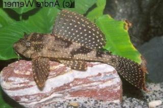 Pterygoplichthys sp. (L313)