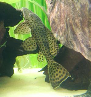 Pterygoplichthys weberi