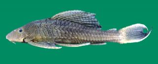 Pterygoplichthys zuliaensis