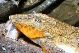 Rineloricaria aff. latirostris
