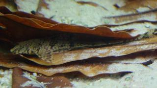 Rineloricaria eigenmanni