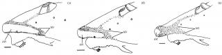 Rineloricaria isaaci