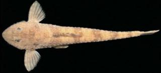 Rineloricaria maacki