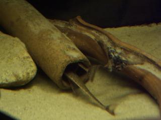 Rineloricaria sp. (1)